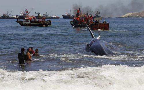 rescate-ballena-Iquique-Chile