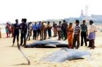 Environ 100 globicéphales se sont retrouvés sur la plage. Image : Keystone