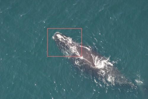reconnaissance-visage-baleine2