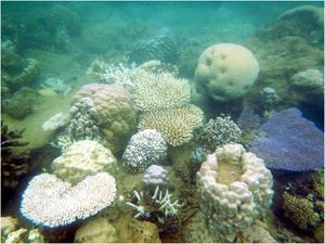 © IRD / F. Benzoni.Les communautés coralliennes situées le long des côtes, comme à la Baie des Citrons, sont les plus affectées, la plupart des espèces montrant une décoloration ou un blanchissement comme ici un Pocillopora damicornis branchu blanchi au centre de la photographie.