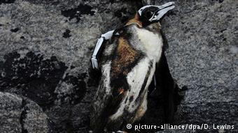 carcasse de manchot congelée