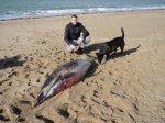 Le dauphin échoué à Quiberon (56), accompagné du promeneur qui l'a retrouvé. Photo : Joël Gallène.