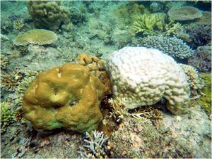 © IRD / F. Benzoni. Toutes les espèces ne réagissent pas de façon similaire. Ici deux colonies coralliennes massives avec deux types de blanchissement : à gauche, Hydnophora microconos a gardé encore sa coloration normale alors qu'à droite, Porites lutea est devenu quasiment blanc.