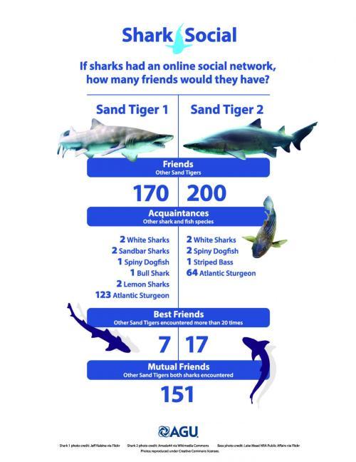 Si les requins-taureaux avaient un réseau social en ligne, à quoi cela ressemblerait-il ? Crédit American Geophysical Union