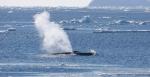Les gigantesques cétacés ont été la cible des baleiniers durant tout le XXe siècle.Paula Olson/IWC,Author provided