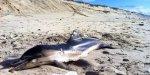 Un dauphin a notamment été retrouvé sur la plage nord de Biscarrosse dimanche.©Francis Berry