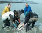 Les quatre dauphins étaient piégés à la pointe de Guilben, en baie de Paimpol, près des parcs à huîtres. Une dizaine d'ostréiculteurs les ont sauvés. Ici, un dauphin commun. Photo : Pascale Caous.