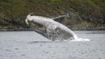 Baleine franche australe tournoyant dans les airs à proximité de la côte. Otago University