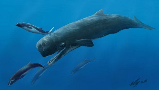 australie une dent d un cachalot mangeur de baleines retrouv e beaumaris bay l 39 actu oc anique. Black Bedroom Furniture Sets. Home Design Ideas