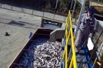 Avec 800000 tonnes par an et un chiffre d'affaires de 3,5 milliards de dollars (près de 4,5 milliards de dollars CAN), le Chili est le deuxième producteur mondial de saumon, après la Norvège, et son industrie est l'une des principales sources d'emploi dans de nombreuses régions du sud du pays. PHOTO JAIME PEA, ARCHIVES AFP