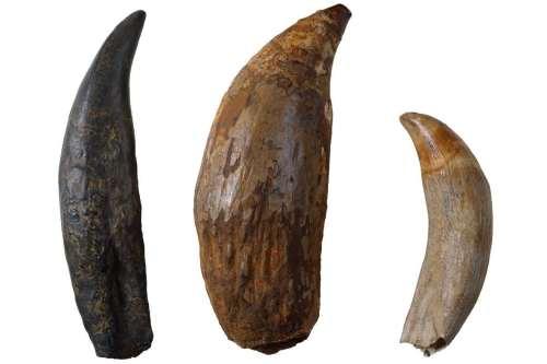 de gauche à droite : dents de Tyrannosaurus rex, cachalot géant et cachalot. © Ben Healley/Museum Victoria.