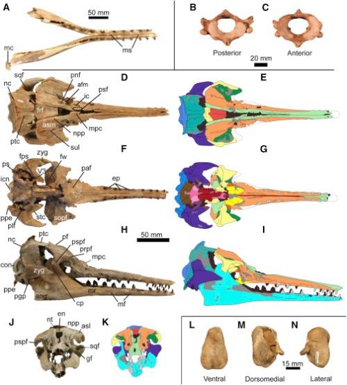 Musée de Georgie du Sud (GSM) 1098, un crâne presque complet avec 39 dents, la mandibule et l'atlas, supposés représenter un seul individu.