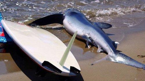 © Capture Fanas du windsurf Port-la-Nouvelle (Aude) - un requin mort sur la plage - 7 juin 2016.