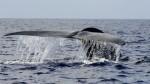 Une baleine bleue (archives) Photo : Getty Images/Ishara S. KODIKARA/AFP